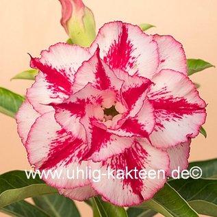 Adenium obesum  Taiwan June Double White-Pink`  Blüte: weiß, pink gestreift, und umrandet gepfr.