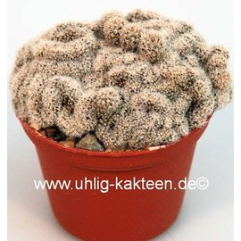 Lobivia densispina  v. rebutioides (syn. rebutioides) gepfr. cristata