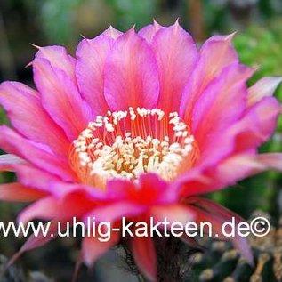 Echinopsis-Hybr. `Mary Patrizia`  (A)