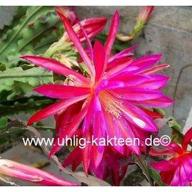 Epiphyllum-Hybr. `Irette`