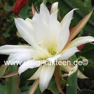Epiphyllum-Hybr. `Kupferrosa`