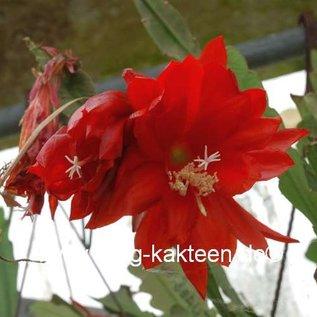 Epiphyllum-Hybr. `Cajun Beauty`
