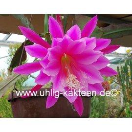 Epiphyllum-Hybr. Easy to Love