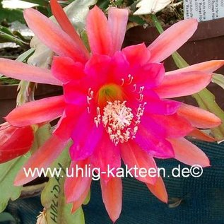 Epiphyllum-Hybr. Roman Holiday