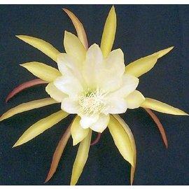 Epiphyllum-Hybr. Desert Moon