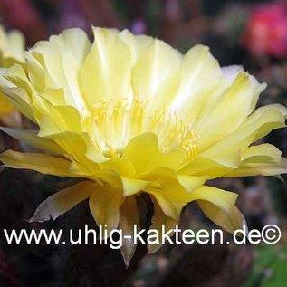 Echinopsis-Hybr. `Maas 108 x Canary`