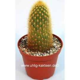 Haageocereus chryseus