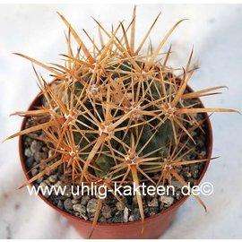 Ferobergia `Violet` F3, Ferocactus dominant  PRIFOR / PRIFOR X PRIFOR / PRIFOR
