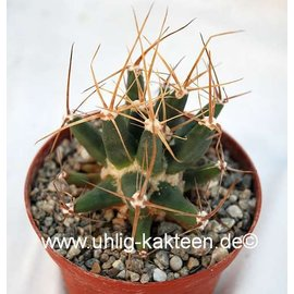Ferobergia `Violet` F3 PRIFOR / PRIFOR X PRIFOR / PRIFOR Leuchtenbergia dominant