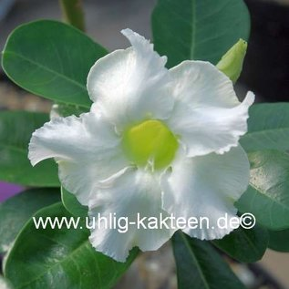 Adenium obesum  cv. `Pure White` zur Zeit mit kulturbedingtem Rückschnitt /  currently with culture-related cut back