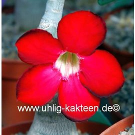 Adenium obesum  cv. `Deep Red` XL zur Zeit mit kulturbedingtem Rückschnitt /  currently with culture-related cut back