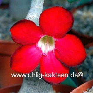 Adenium obesum  cv. `Deep Red` XL