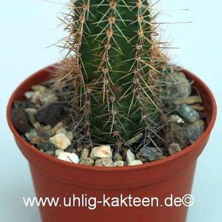Echinocereus scheeri v. obscuriensis L 091