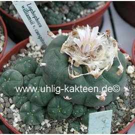 Lophophora williamsii f. caespitosa XL -> only on request