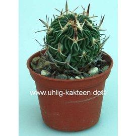 Stenocactus spec. Balenaria de Lords  Balenaria de Lords (syn.Echinofossulocactus spec. Balenaria de Lords)