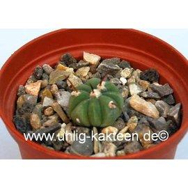 Echinocactus horizonthalonius CH 485 ssp. subikii E of Ejido La Soledad, NL