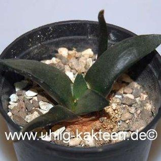 Ariocarpus trigonus v. confusus   (CITES)