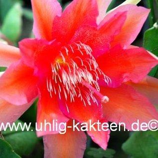 Epiphyllum-Hybr. `Desert Sunrise`