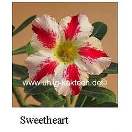Adenium obesum  Sweetheart`   Blüte: weiß, breiter purpurroter Mittelstreif, leicht gesprenkelt, Schlund gelbgrün
