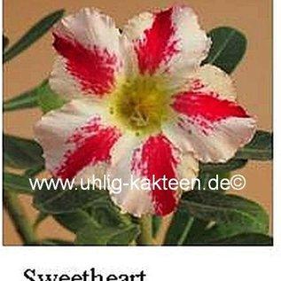 Adenium obesum  Sweetheart`  Blüte: weiß, breiter purpurroter Mittelstreif, leicht gesprenkelt, Schlund gelbgrün gepfr.
