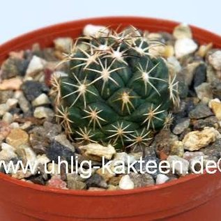 Coryphantha tripugionacantha  MMR 064