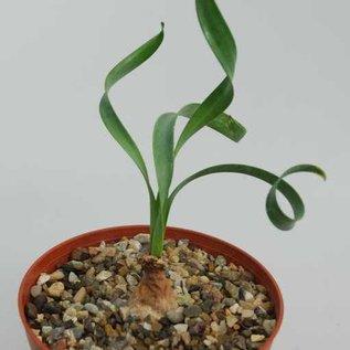 Cyrthanthus spiralis   Südafrika