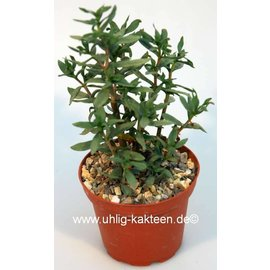 Crassula sarcocaulis  cv. grandifolius