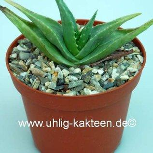 Aloe dhufariensis