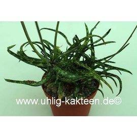 Aloe bakeri    (CITES)
