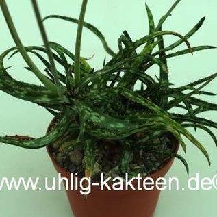 Aloe bakeri   Madagaskar   CITES