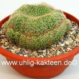 Echinopsis spec.    gepfr. cristata