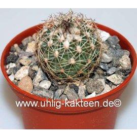 Gymnocactus saueri  v. nelissae Mexico, Bustamante   CITES