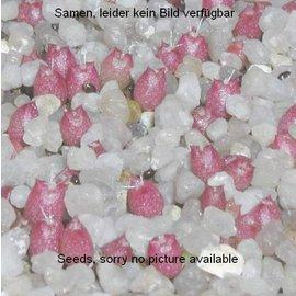 Mammillaria heyderi  v. gummifera      (Samen)