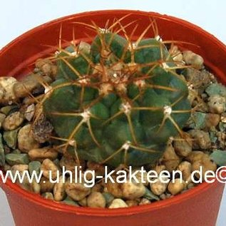 Discocactus heptacanthus HU 326  HU 326 Cuiabá, Mato Grosso, Brasilien   CITES