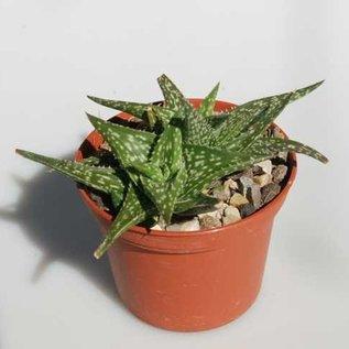 Aloe descoingsii    Madagaskar, Tulear, Kalkstein-Hügel   CITES