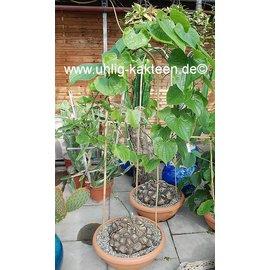 Dioscorea macrostachya XL