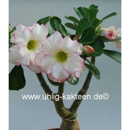 Adenium obesum  Delicate Concubine´   Blüte: doppelt, weiß, dünn intensiv pink umrandet (picote)