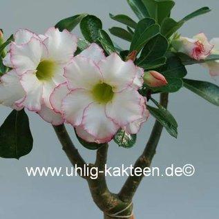 Adenium obesum  Delicate Concubine´  Blüte: doppelt, weiß, dünn intensiv pink umrandet (picote) gepfr.