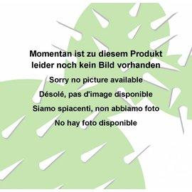 Adenium obesum  Poinsettia Joyful´  zur Zeit mit kulturbedingtem Rückschnitt /  currently with culture-related cut back