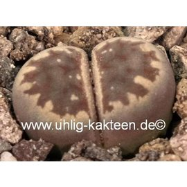 Lithops dorotheae  C 300