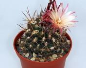 Pyrrhocactus