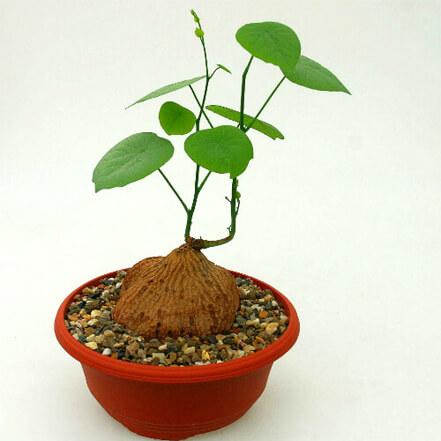Caudexpflanzen