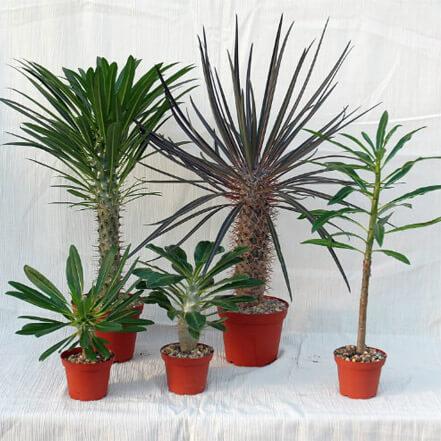 Madagaskarpalmen