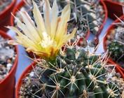 Horridocactus