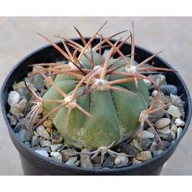 Echinocactus horizonthalonius   Quatro Cienegas, Mx