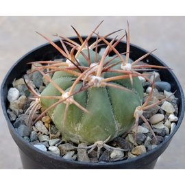 Echinocactus horizonthalonius   Los Escobas, Camargo Mex.08