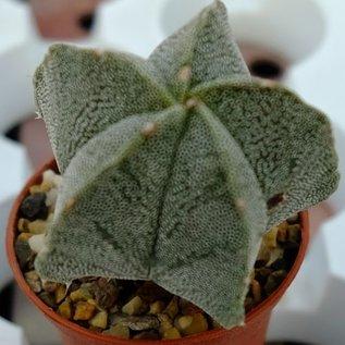 Astrophytum myriostigma-Hybr.    gepfr.