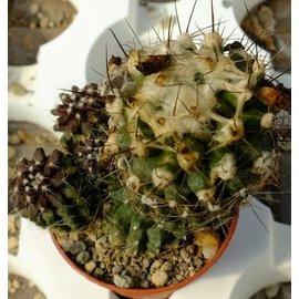 Copiapoa paposoensis  cv. Arisonne