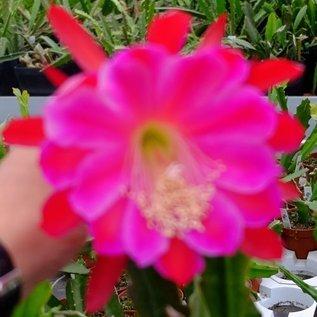 Epiphyllum-Hybr. Leos Wunder