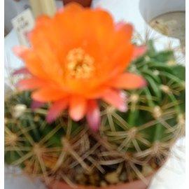Lobivia chrysochete BOS 576 less thorns w. Santa Victoria